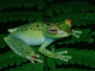 Hyla rufitela