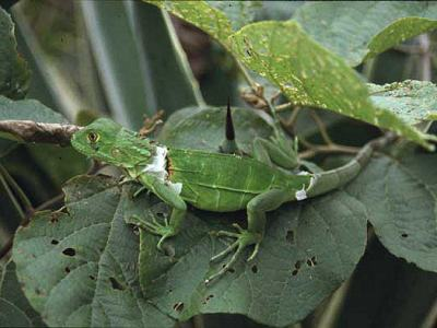 Grön leguan, Iguana iguana