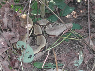 Kungsboa, Boa constrictor