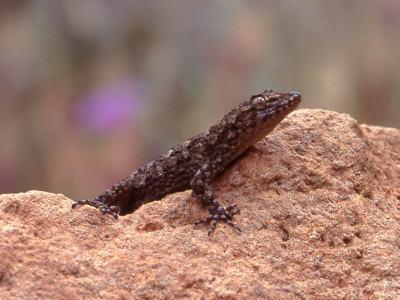 Cyrtodactylus kotschyi