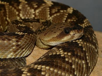Crotalus molossus
