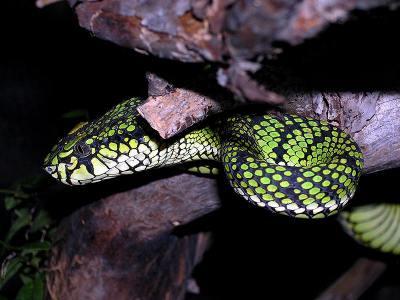 Trimeresurus sumatranus