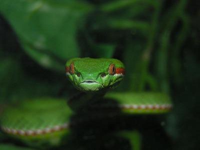 Trimeresurus gumprechti