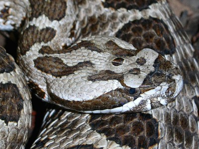 Sistrurus catenatus tergeminus