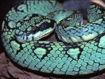 Trimeresurus trigonocephalus