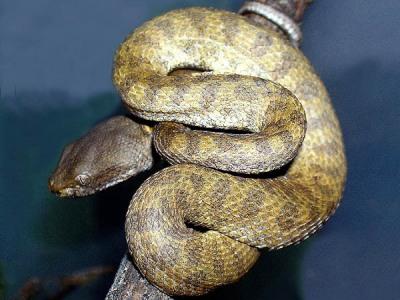 Trimeresurus fasciatus