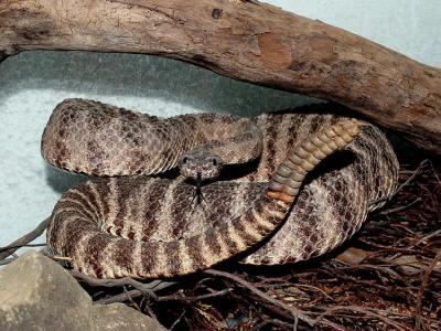 Crotalus tigris